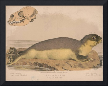Vintage Illustration of a Harbor Seal (1874)