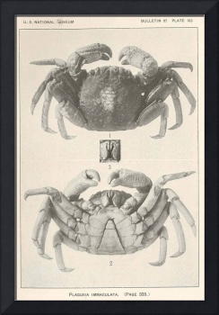 Vintage Crab Anatomy Photograph (1918)