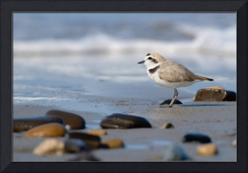 Snowy Plover and the Sea