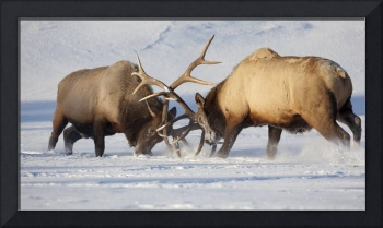 Roosevelt elk fight during rut season, Alaska Wild