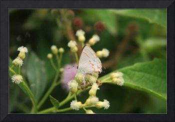 Small Gray Butterfly