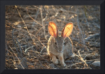 Cottontail at Sunset