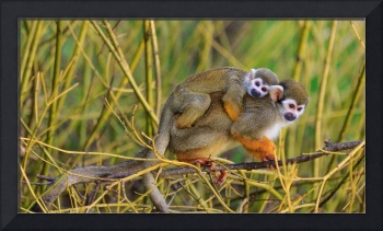 Guianan Squirrel Monkey Carries Her Baby