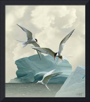 Artic Terns in Antartica