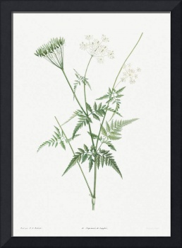 Turnip-Rooted Chervil Vintage Botanical