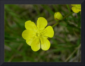 Botanical - Mountain Buttercup - Outdoors Floral