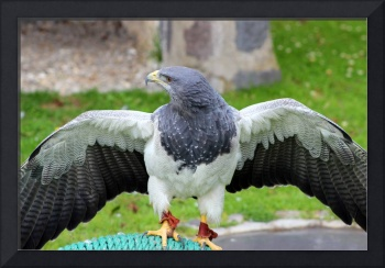 Black Chested Buzzard Eagle With Spread Wings