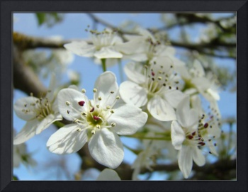 BLOSSOMS 26 White Tree Blossoms Art & Cards