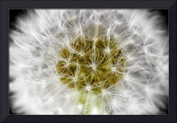 Abstract Nature White Dandelion Floral Macro A1