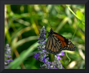 Monarch on Blue