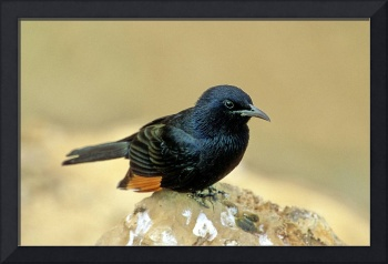 Black Bird of the Neguev Desert