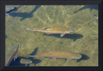 Rainbow Trout fine art Prints Fishing Fishermen