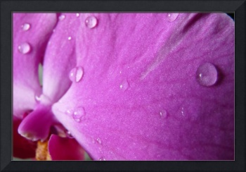 Water droplets on Purple Orchid(3)