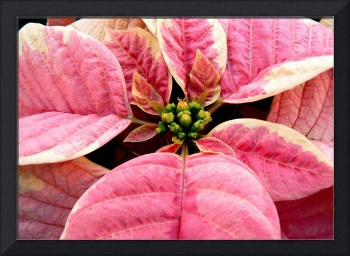 PoinsettiaPink