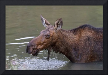 Female Moose Head Shot