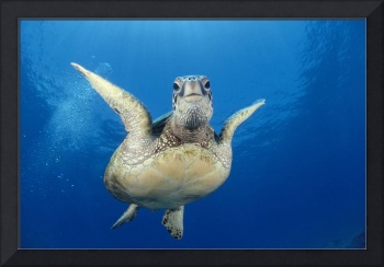 Hawaii, Maui, Front View Of Green Sea Turtle Midwa
