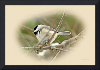 Black capped Chickadee Songbird