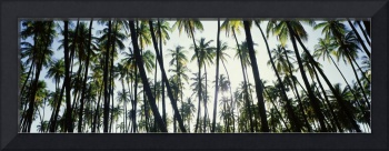 Low angle view of coconut palm trees in a forest