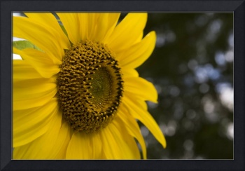 Sideview of Sunflower
