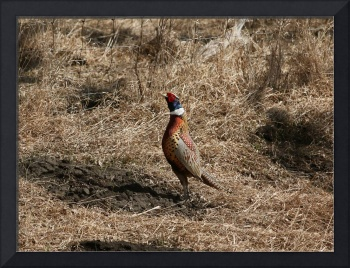 Ring-neck pheasant