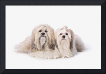 Two White Lhasa Apso Pupppies