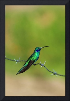 Hummingbird on Barbed Wire