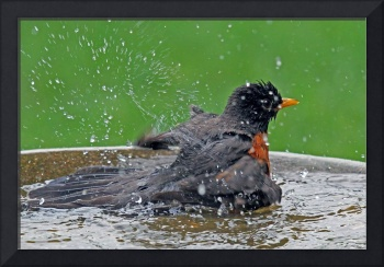Robin at Bath