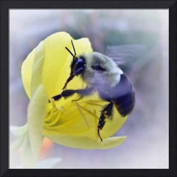 Bumble Bee On Primose