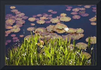 Lily Pads In A Lake Near Dunmanus Bay County Cork