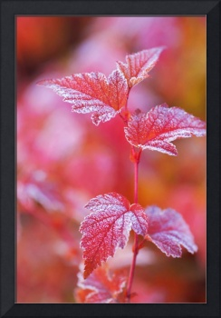 Red Branch with Frosted Leaves of Physocarpus