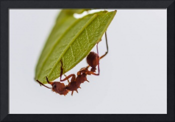 Leafcutter ant at work
