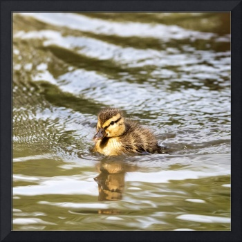 Duckling Paddling in the Sunshine