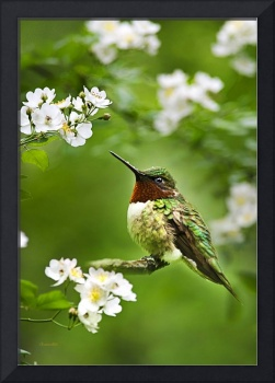 Fauna and Flora Hummingbird