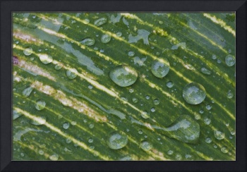 Water Drops On A Plant Leaf Northumberland, Engla
