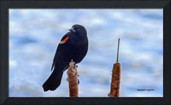 A Male Red-winged Blackbird on a Cattail.