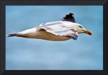 Herring Gull in Flight, Dungeness, Kent, England