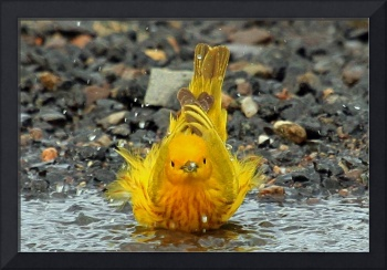 Yellow Warbler Bathing