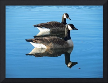 Dean Park Canada Geese swimming in the pond
