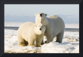Polar Bear family walks along a barrier island in