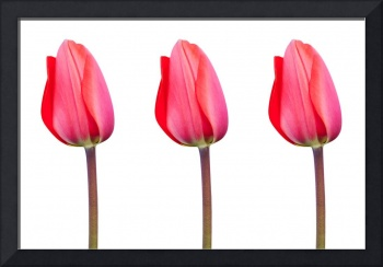 Three Red Tulips in a Row