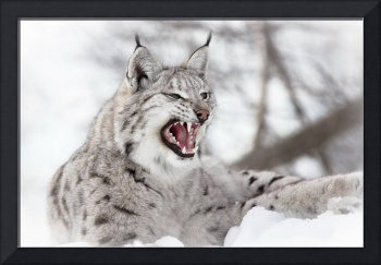 Angry Lynx Cat