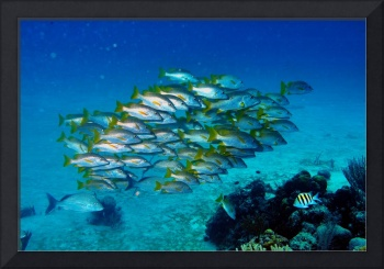 Yellowtail Snapper Hovering Over Reef