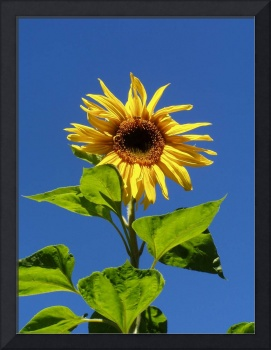 Sunflower in the blue sky
