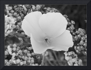 Poppy Flower - Black And White Photography