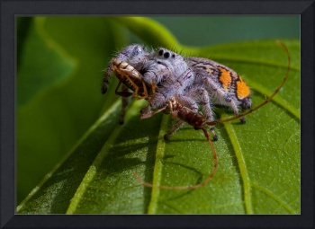 white jumping spider with insect