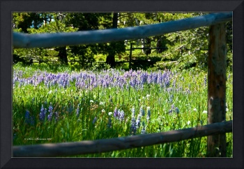 Lupine framed in rail fence