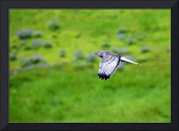 Marsh Hawk in Flight