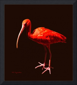 Scarlet Ibis on Black