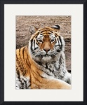 Tiger Portrait by Rich Kaminsky