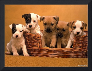 Cute Jack Russell Puppies Play